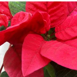 Пуансеттия: уход за Рождественской звездой